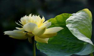 Những bài thơ, tục ngữ ca dao hay viết về hoa sen